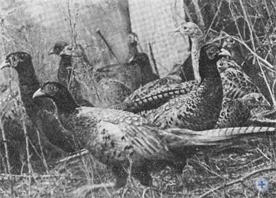 Фазаны в питомнике охотничьего хозяйства. 1976 г.