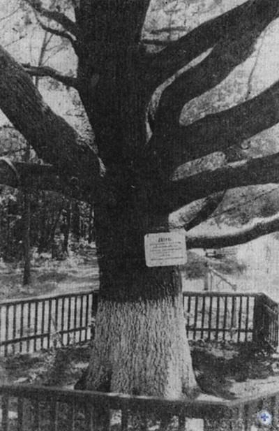 Памятник природы в Кривом Озере — 330-летний дуб. 1980 г.